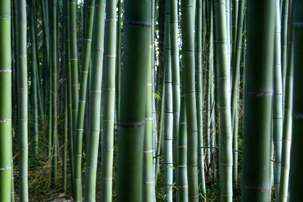 La forêt de bambous, à Arashiyama...