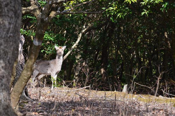 日の島で撮影した鹿