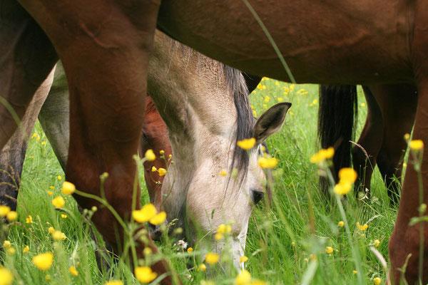 Aux Grilles, les poneys profitent de nos vastes prairies