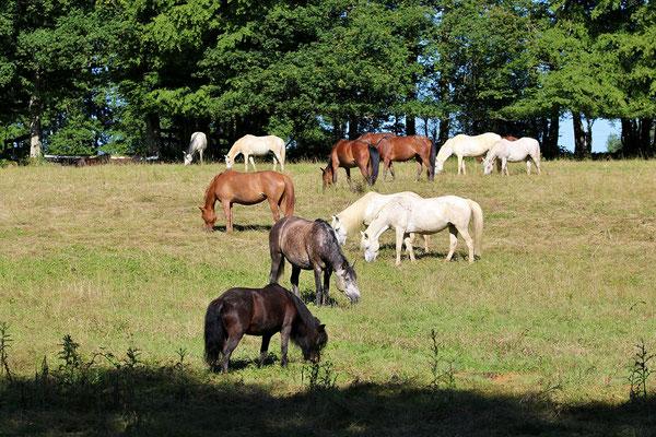 Aux Grilles, nos poneys vivent en troupeaux en liberté dans les pré