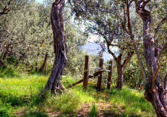 uroki gaju oliwnego