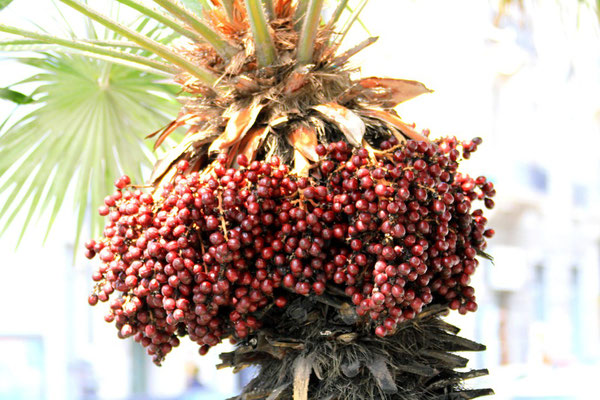 Owocujaca palma