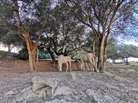 Vepo und Gitano unter den Bäumen des Offenstalls