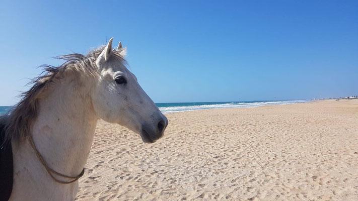 Enamorado mit Halsring am Strand