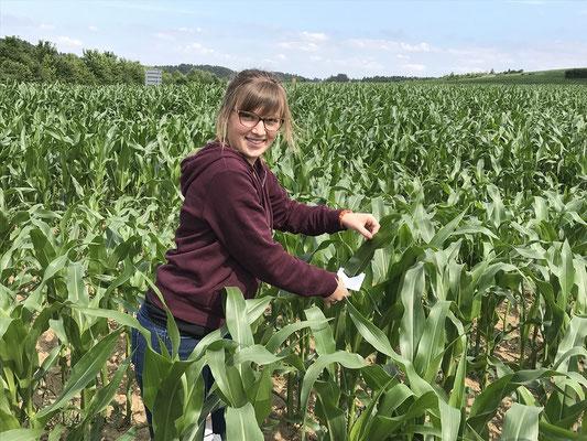 Biologischer Pflanzenschutz gegen den Maiszünsler