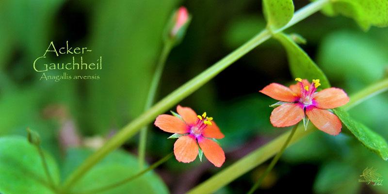 Blüten des Acker-Gauchheils©Eschenblatt-Verlag