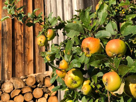 Reife Äpfel in der Dorfmitte
