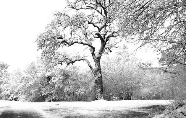 Birnbaum an der Hilarius-Kapelle