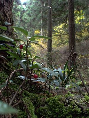 ヤブコウジのある森 2015年11月下