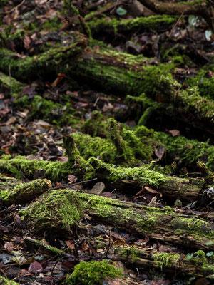 コケに覆われた森 2012年2月下
