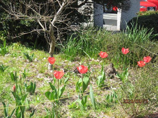 玄関前にも咲きました。