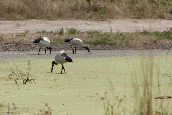 09.05. Moremi GR; African sacred ibis - Threskiornis aethiopicus