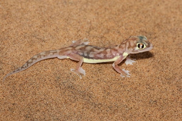 21.2. Namib dune gecko (Pachydactylus rangei)
