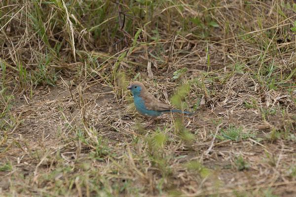 25.4. Mahango Game Reserve, Blue waxbill - Uraeginthus angolensis