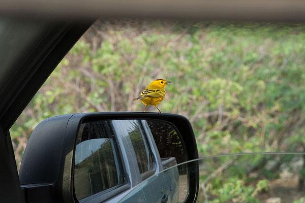 Bei Piedra Bonaire - Dendroica petechia, Yellow Warbler