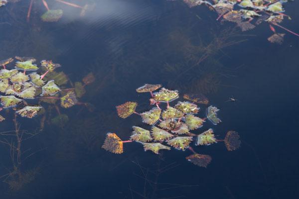 08.05. Moremi GR - Xakanaxa Lagoon; Water chestnut - Trapa natans