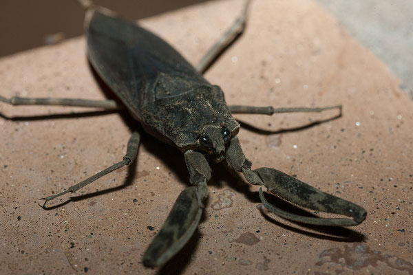 25.4. Nunda River Lodge, Giant water bug (F Belastomatidae)