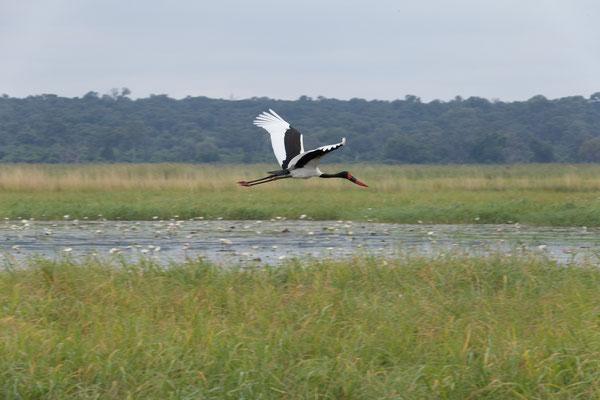 25.4. Mahango Game Reserve, Saddle-billed storck - Ephippiorhynchus senegalensis