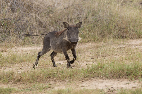 25.4. Mahango Game Reserve, Warzenschwein - Phacochoerus africanus
