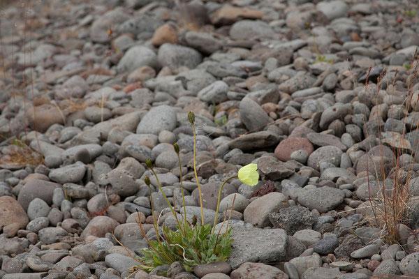 9.8. Westfjorde - Arktischer Mohn (Papaver radicatum)