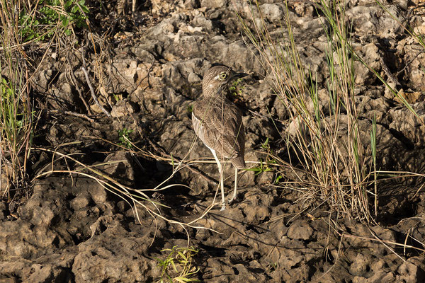 23.4. Bootsfahrt auf dem Kavango: Water Thick-knee - Burhinus vermiculatus