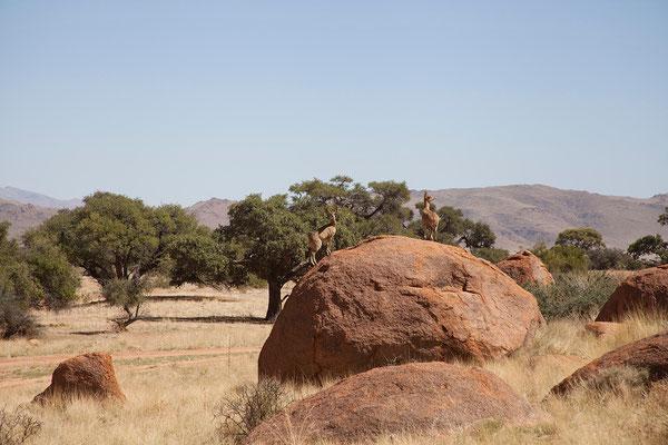 14.2. Klippspringer (Oreotragus oreotragus) sind tolle Kletterer