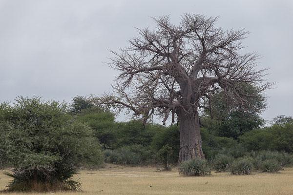 25.4. Mahango Game Reserve, Baobab - Adansonia digitata
