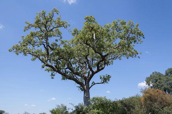 29.4. Bwabwata NP/Kwando Core Area, Leberwurstbaum - Kigelia africana
