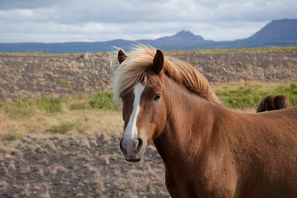 4.8. Islandpferd auf dem Weg nach Ásbyrgi