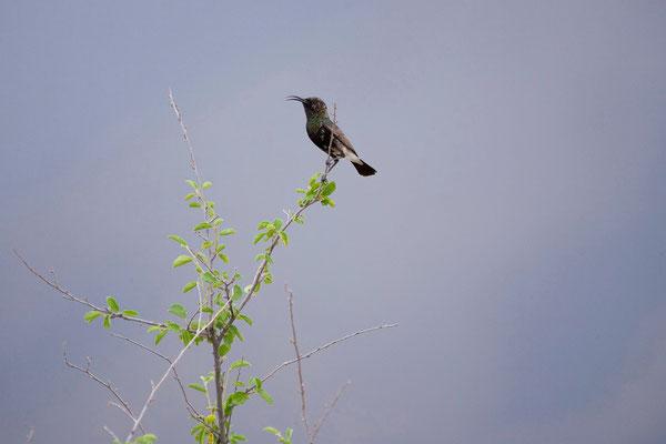 18.2. Dusky sunbird (Cinnyris fuscus)