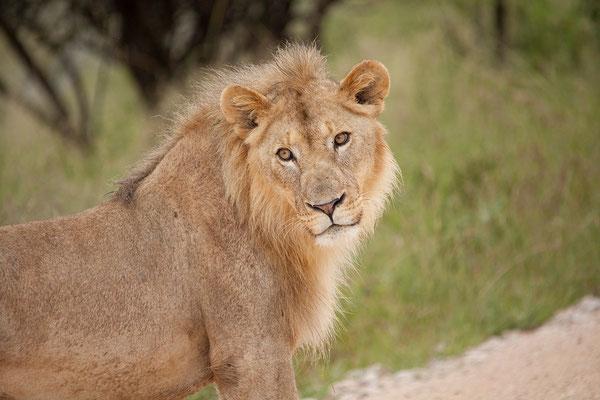 25.2. Etosha - Löwen (Panthera leo)