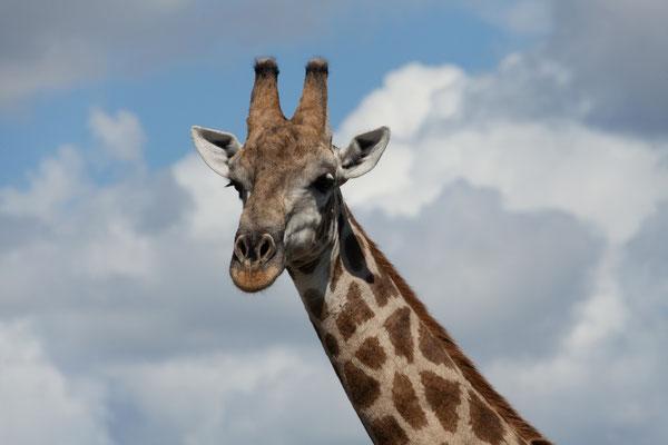 03.05. Chobe NP (Riverfront),  Giraffe - Giraffa camelopardalis