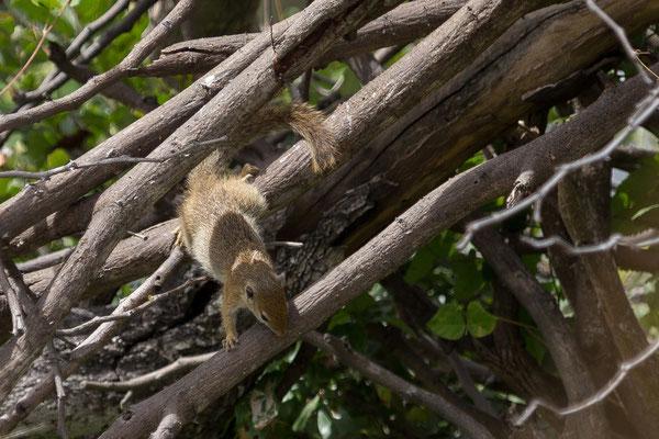 28.4. Mudumu NP; Buschhörnchen - Paraxerus cepapi
