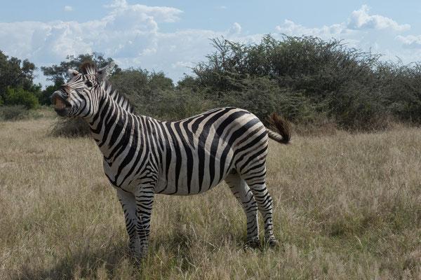 09.05. Moremi GR; Steppenzebra - Equus burchelli