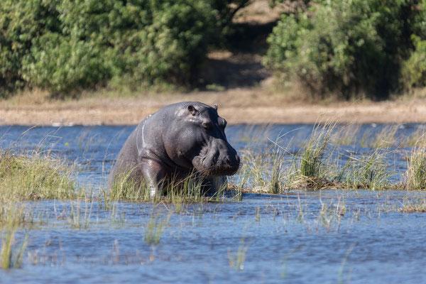 02.05. Bootstour auf dem Chobe, Flusspferd - Hippopotamus amphibius