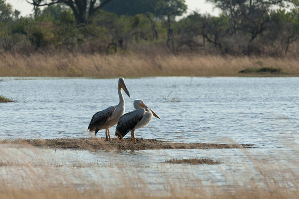 10.05. Moremi GR; Great white pelican - Pelecanus onocrotalus