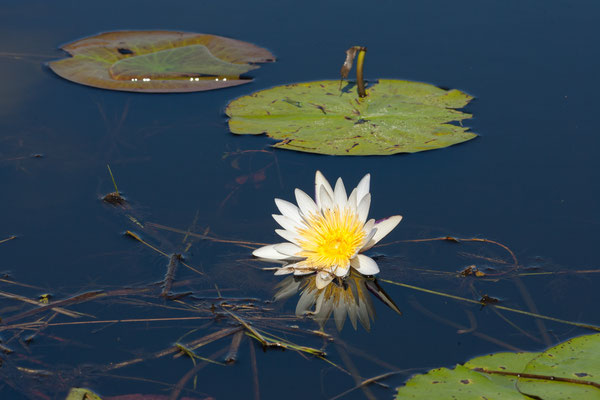 27.4. Mavunje - Bootstour; White waterlily - Nymphaea lotus