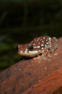 23.4. Hyperolius marmoratus (Painted reed frog)