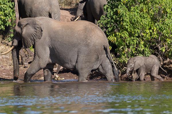 Elefanten, mit Jungen