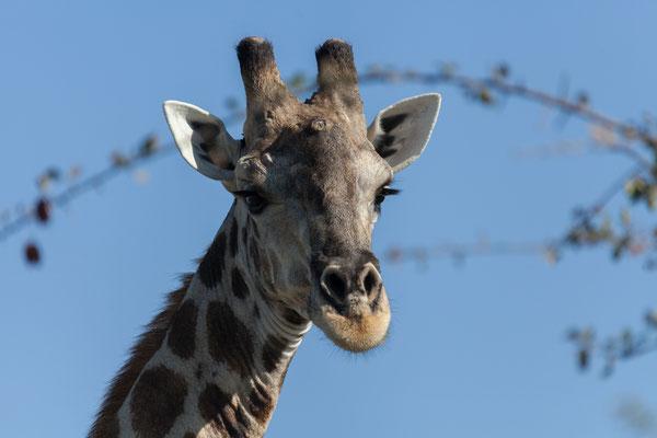 12.05. Nxai Pan NP, Giraffe - Giraffa camelopardalis