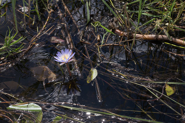 27.4. Mavunje - Bootstour; blue waterlily - Nymphaea nouchali caerulea