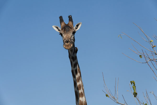 10.05. Moremi GR; Giraffe - Giraffa camelopardalis mit Madenhacker (Red-billed oxpecker - Buphagus erythrorhynchus)