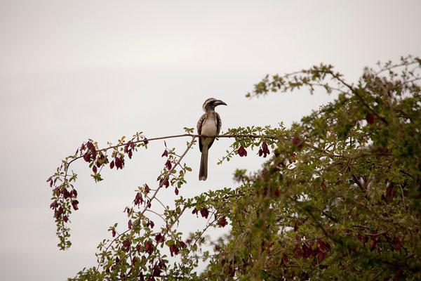 26.2. Etosha -  Tockus nasutus (African grey hornbill)