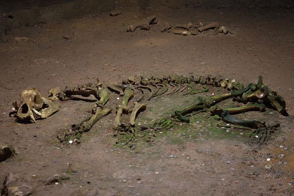 19.06. In der Peștera Urșilor wurden Skelette von 140 Höhlenbären gefunden.