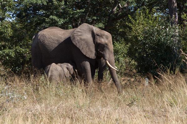 03.05. Heute verlassen wir Kasane. Bereits vor dem Parkeingang treffen wir auf die ersten Elefanten.