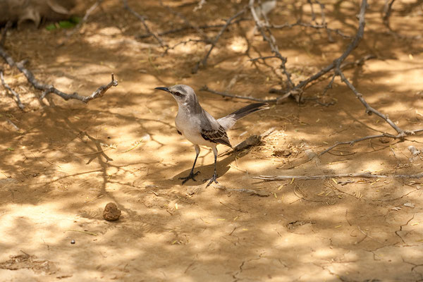 Washington Slaagbai National Park  - Pos Mangel (Mimus gilvus, Tropical Mockingbird)