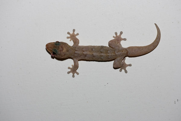 Casa Bonito - Hausgast (Geckos)
