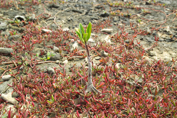 Mangroven und Halophyten prägen die Küstenvegetation.