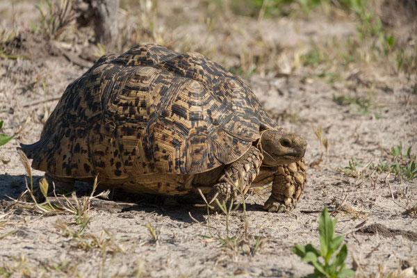 10.05. Moremi GR; Leopard tortoise - Geochelone pardalis