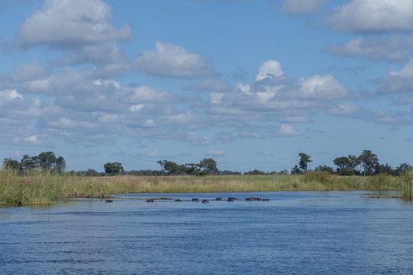 27.4. Mavunje - Bootstour; wir sehen viele Flusspferde - Hippopotamus amphibius